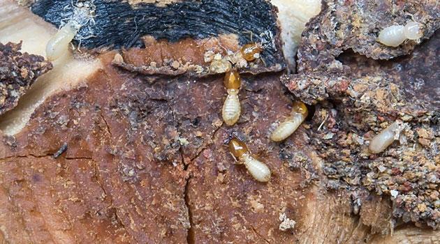 Damp Wood Termites