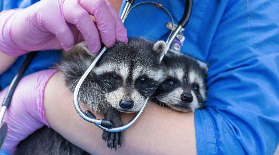 Raccoon w/ Professional