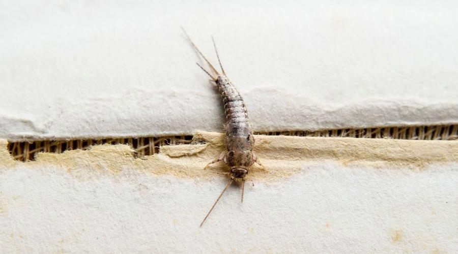 Silverfish Bug