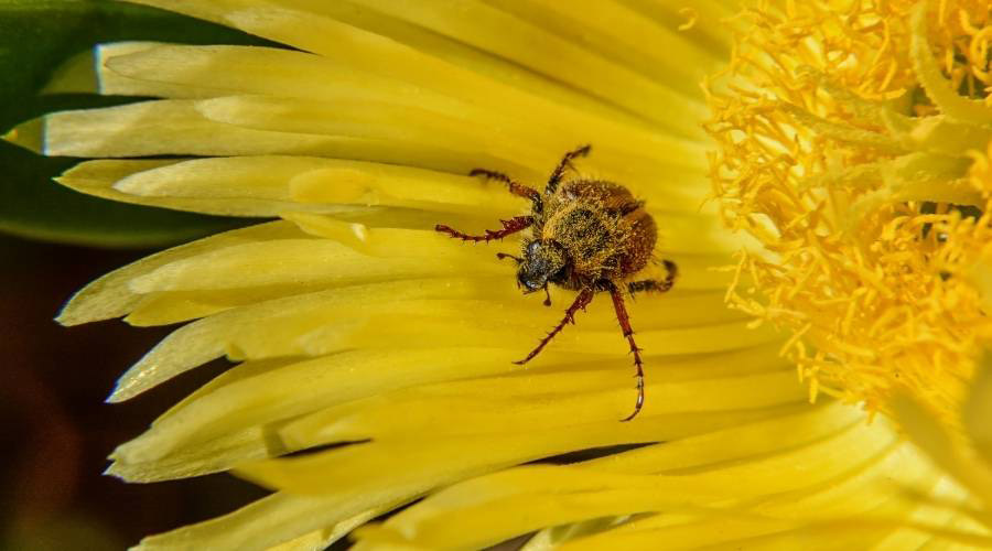 American Spider Beetle