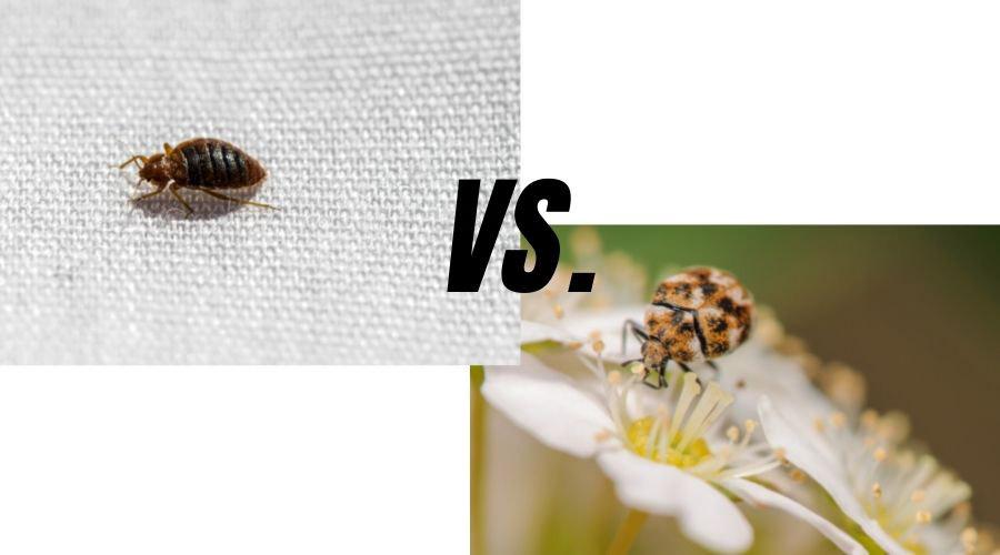 Bed Bug vs Carpet Beetle